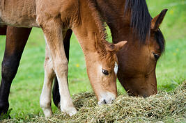 Establishing a Foal's Healthy Gut Microbiome - mare and foal eating photo