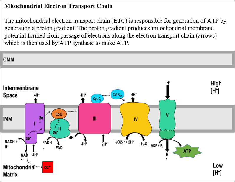 Mitochondrial Electron Transport Chain - Insert (2)