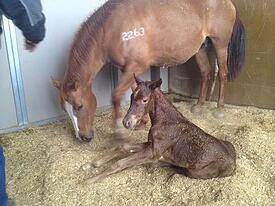 SERC - newborn foal resized